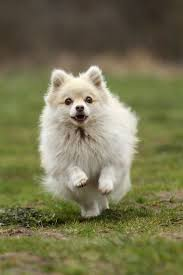 husky x australian shepherd for sale 50 best images about hunde on pinterest chow chow pomeranian