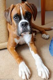 boxer dog uk boxer dog hugo saved by vets after swallowing a 21 inch riding