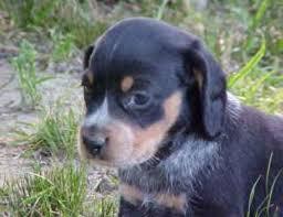 bluetick coonhound puppies for sale in ohio index
