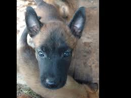 belgian sheepdog breeders in texas john mastin belgian malinois puppies for sale
