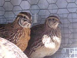 backyard chickens for sale 21 best exotics images on pinterest animals beautiful birds and