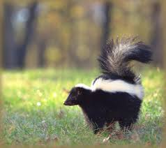 How Do You Get Rid Of Possums In The Backyard by Skunks How To Identify And Get Rid Of Skunks In The Garden The