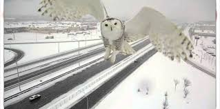 rare snowy owl captured on traffic camera in canada youtube