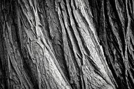 White Oak Bark Free Stock Photo Of Abstract Background Bark