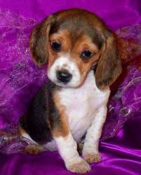bluetick coonhound puppies for sale in ohio beagles for sale ads free classifieds