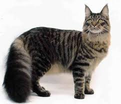 Senarai 10 Jenis Kucing Termahal DI Dunia