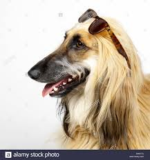 afghan hound long haired dogs afghan hound with sunglasses stock photo royalty free image