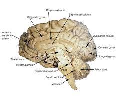 Sheep Brain Anatomy Game Heart Anatomy Games Courses Brain Anatomy Games At Best Anatomy Learn