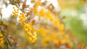 Tree With Bright Yellow Flowers - autumn rain in slow motion rain drops falling on yellow tree