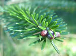 Image result for Abies fargesii