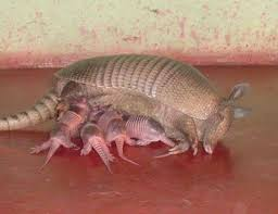 How Do You Get Rid Of Possums In The Backyard by Armadillos In Your Flower Bed Twrc Wildlife Center