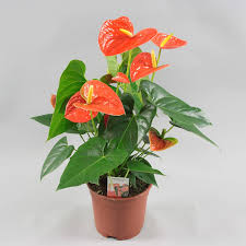 spectacular anthurium tropical plant in red pink u0026 white blooms