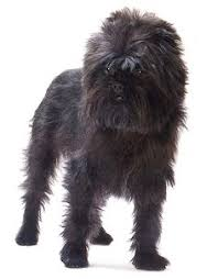 affenpinscher ewok affenpinscher affenpinscher is our contender number one for the