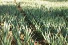 Γνωριμία με το φυτό Αλόη Βέρα (