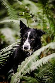 images about All About Border Collie on Pinterest   Sheep     Pinterest Click visit site and Check out Cool  quot Border Collie quot  T shirts  This website is outstanding  Tip  You can search  quot your name quot  or  quot your favorite shirts quot  at