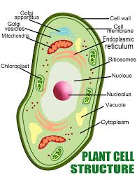 Structure Of Human Anatomy Anatomy Of The Plant Cell Vs A Human Cell Interactive Biology