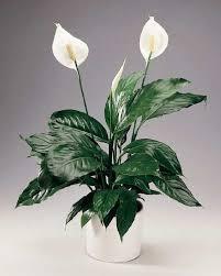 Kućne biljke-čistaći životne oaze Images?q=tbn:ANd9GcQt8Dtst-Xa2df1gIw5z4U5yazwNprWaTt2zADg9Rw9kMKvYQw&t=1&usg=__qSqQmtjdCeFNWOTaRQlk4exDt-o=