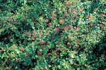 Image result for Ribes viburnifolium