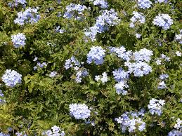 plumbago care where and how to grow a plumbago plant