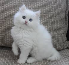 محبي القطط