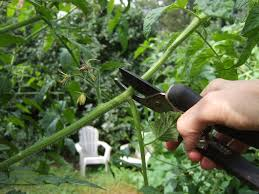 how to prune tomatoes for a big harvest bonnie plants