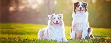 australian shepherd qualities australian shepherd dog breed health history appearance