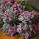 Purple Kush Marijuana Information | Strain Spot - Downloadable
