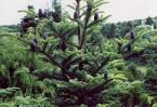 Image result for Abies forrestii