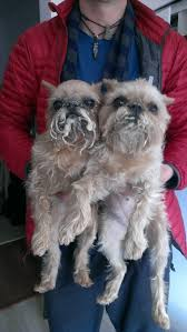 buy a affenpinscher town pets the bearded ladies around town
