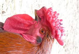 Derbyshire Redcap