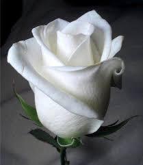 رسائل الورود تحبون images?q=tbn:ANd9GcQ