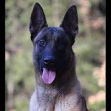 belgian shepherd nc wall of fame protection dogs