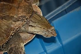 Zambezi flapshell turtle