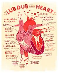 Structure Of Human Anatomy Best 25 Heart Anatomy Ideas On Pinterest Diagram Of The Heart