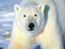 Kutup ayısı hakkında bilgiler