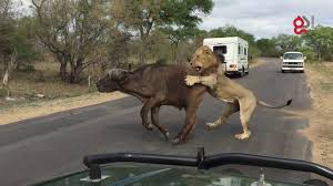 lions attack buffalo meters from tourists youtube