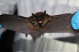 bat species discovered minnesota century