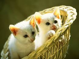 صور قطط تدحك,صور قطط,صور قطط جميلة,صور قطط حلوه Images?q=tbn:ANd9GcQzzc93_aQ_c482Nkmmu7uM_cLSZXtj6PQH6h1r9OgTEAv5xmoKGg