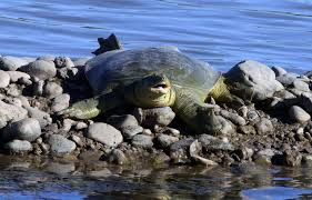 Euphrates softshell turtle