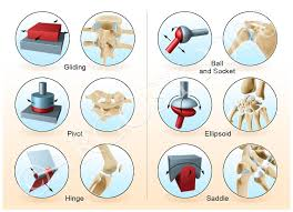 best 25 synovial joint ideas on pinterest human joints
