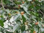 <b>Moraceae</b>-sp-141.jpg