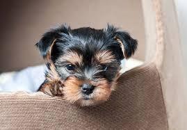 bluetick coonhound puppies for sale in ohio yorkshire terrier puppies for sale akc puppyfinder