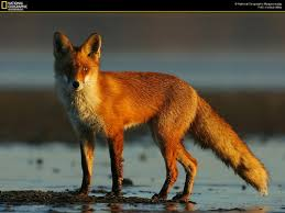 صور حيوانات مفترسه  Images?q=tbn:ANd9GcR2HcaUXVNghHTdS2KUdy23COz1fU9qLMG7l-Y4x_f6TVIauOE-