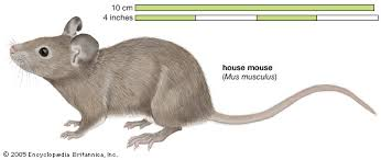 mouse rodent britannica
