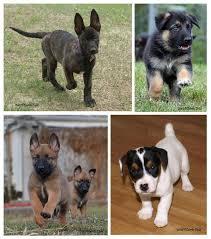 belgian sheepdog breeders in texas german shepherd puppies dutch shepherd puppies belgian malinois