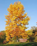 Image result for Liriodendron tulipifera