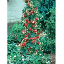 strawberry u0027mount everest u0027 a climbing strawberry that can be