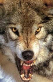 lupo arrabbiato