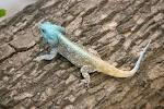 Image result for Acanthocercus cyanogaster
