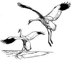 free picture whooping cranes birds illustration